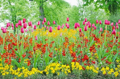 Lovely tulips in a bright flower garden. Image courtesy of David Castillo Dominici / FreeDigitalPhotos.net