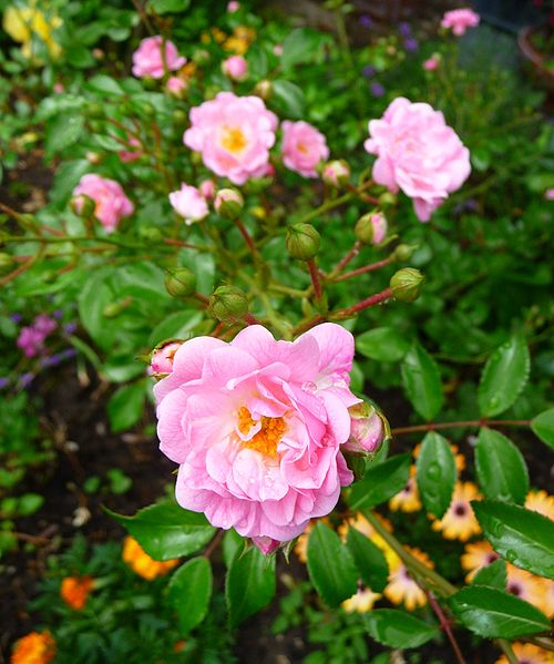 """Polyantha-Rose """"The Fairy"""", fotografiert in Heidelberg (Baden-Württemberg, Deutschland). Image by 4028mdk09"""