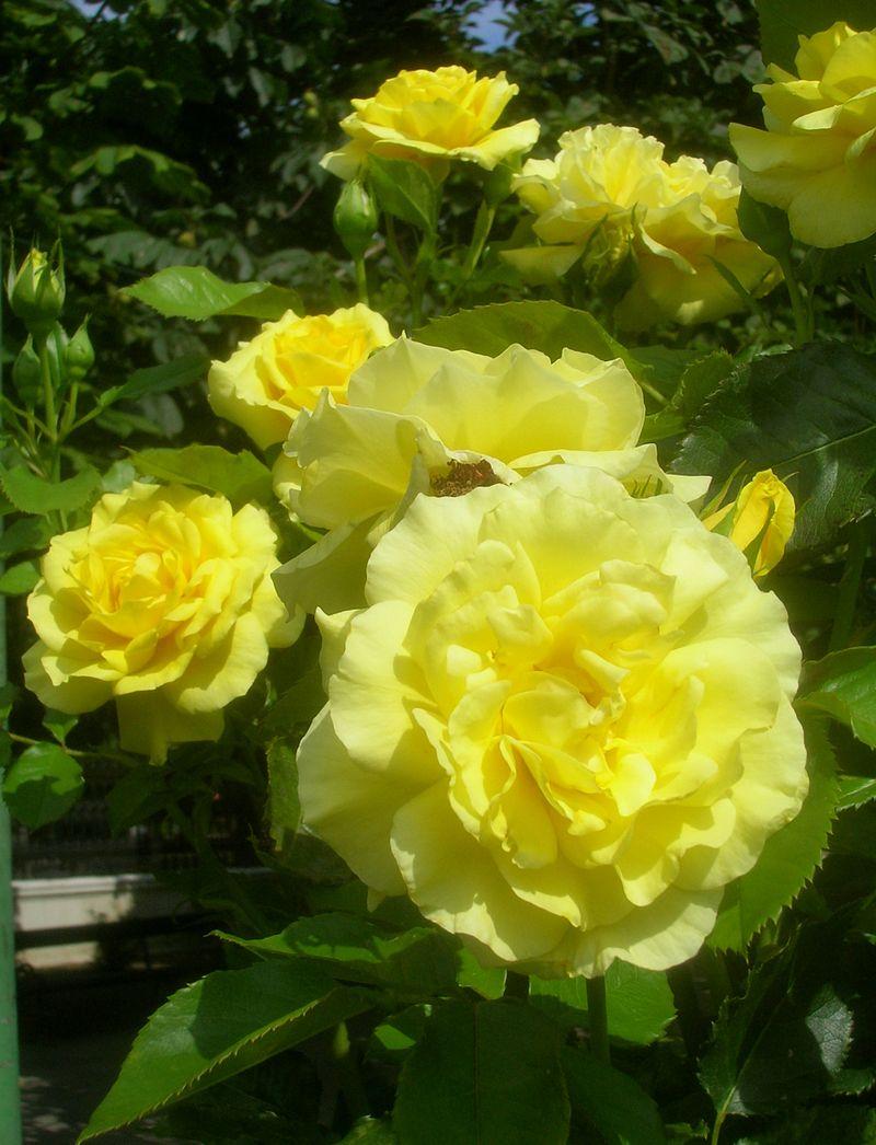 Rosa Friesia. Image by Anna Reg.