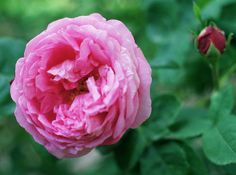 Rosa 'La Reine', Híbridos reflorecientes, sect. Rosa. Real Jardín Botánico, Madrid. Image by A.Barra
