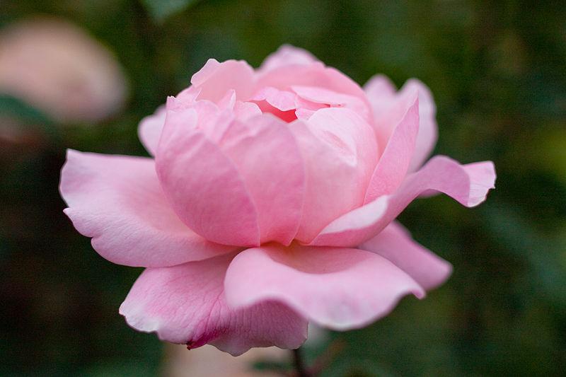 Queen Elizabeth Rose. Image by Yoko Nekonomania