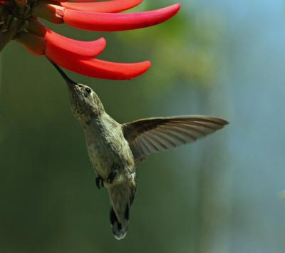 Hummingbird drinking nectar. Image courtesy of Michael Elliott / FreeDigitalPhotos.net