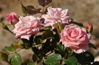 Pink Roses. Image courtesy of artur84 / FreeDigitalPhotos.net