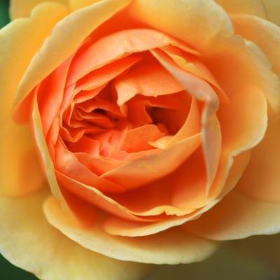 A rose close up. Image courtesy of antpkr / FreeDigitalPhotos.net