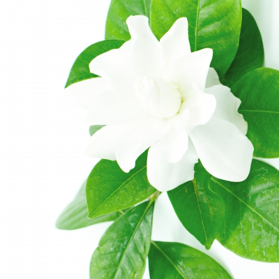 Gardenia has such a lovely perfume. I love it! Image courtesy of panuruangjan / FreeDigitalPhotos.net