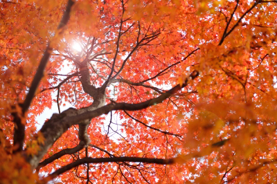 Colorful Maple Tree in Fall. Image courtesy of num_skyman at FreeDigitalPhotos.net