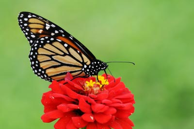 Butterfly on flower. Image courtesy of Gualberto107 / FreeDigitalPhotos.net