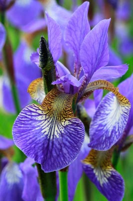 Purple Iris. Image courtesy of Tina Phillips / FreeDigitalPhotos.net